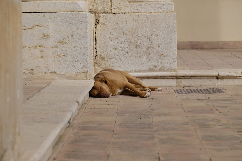 A Sicilian dog sleeping
